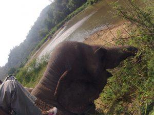 elefante tailandés