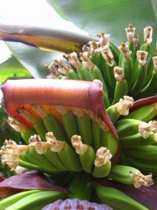 Plátanos Puerto de la Cruz