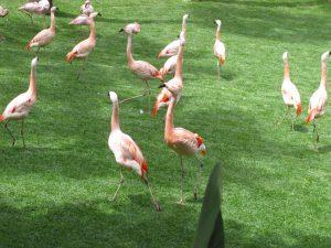 Flamencos de Loro Parque