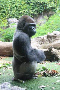 Gorilas de Loro Parque