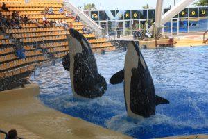 Orcas de Loro Parque