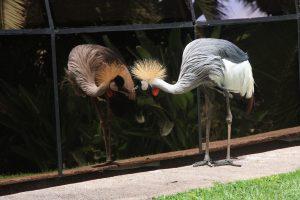 Grullas Coronadas de Loro Parque
