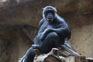 Chimpacés de Loro Parque