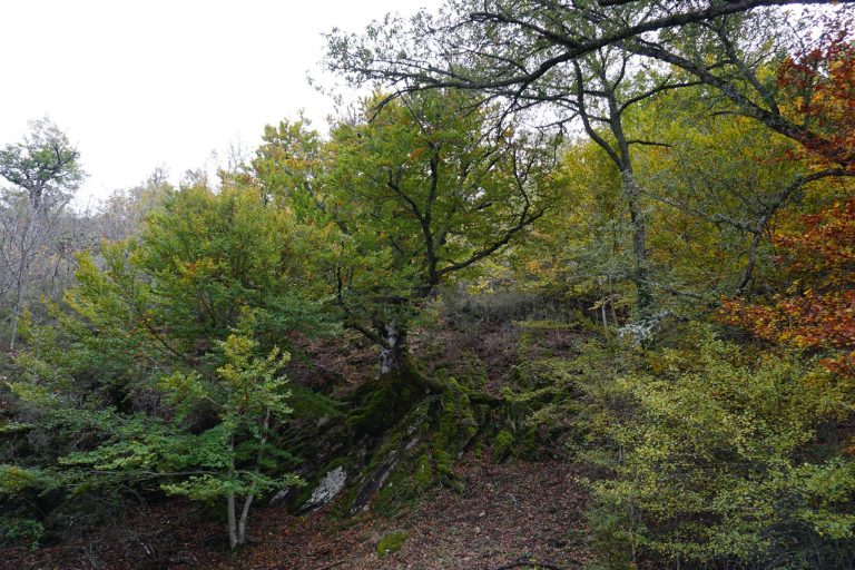 Haya Roca del Hayedo de Montejo